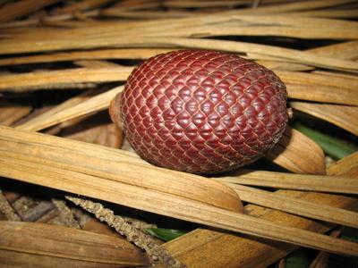Burití - Palmenfrucht, Amazonas